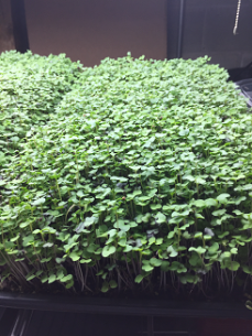 Radish Microgreens Ready to Harvest